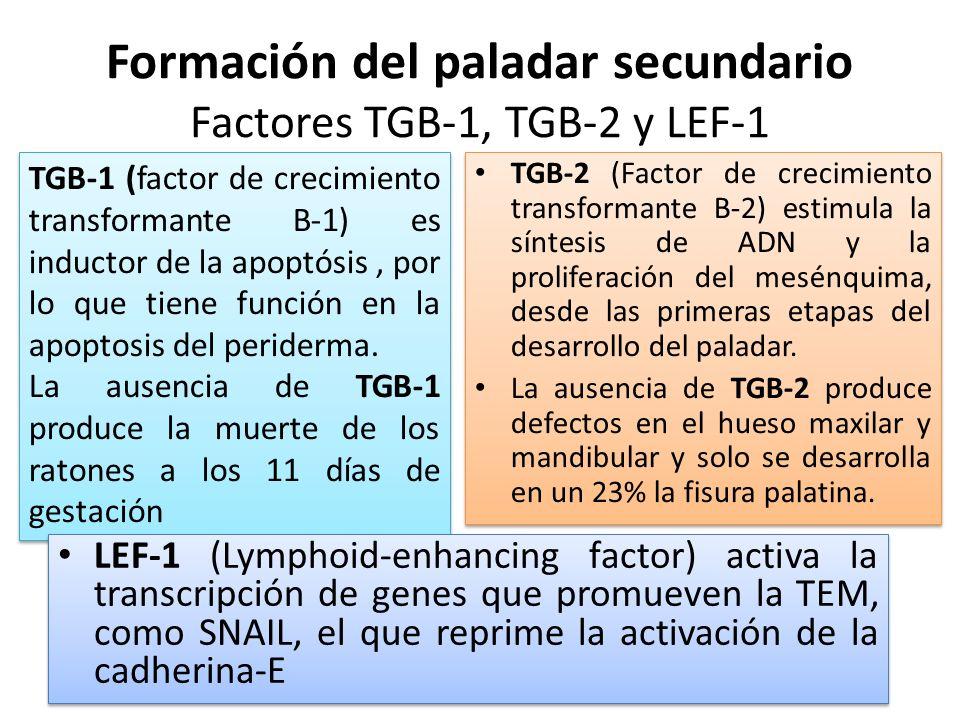 Formación del paladar secundario Factores TGB-1, TGB-2 y LEF-1