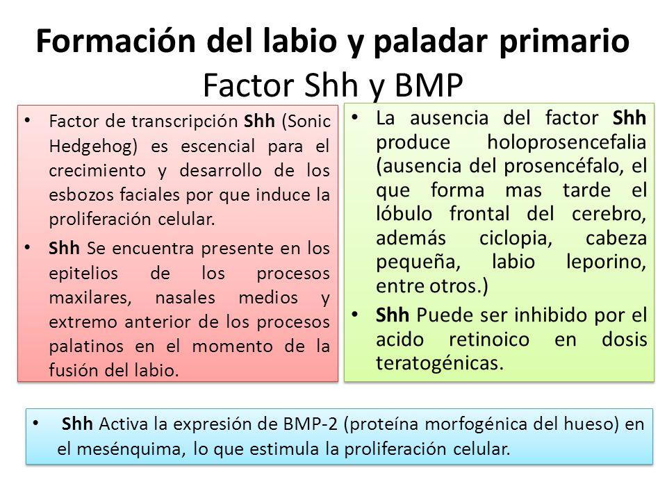 Formación del labio y paladar primario Factor Shh y BMP