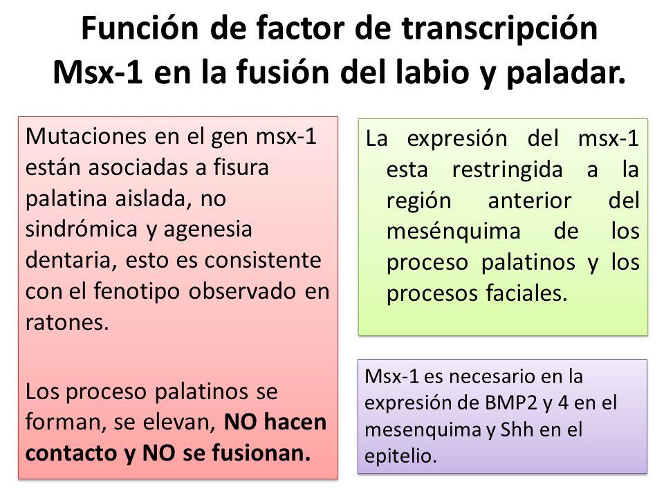 Función de factor de transcripción Msx-1 en la fusión del labio y paladar.