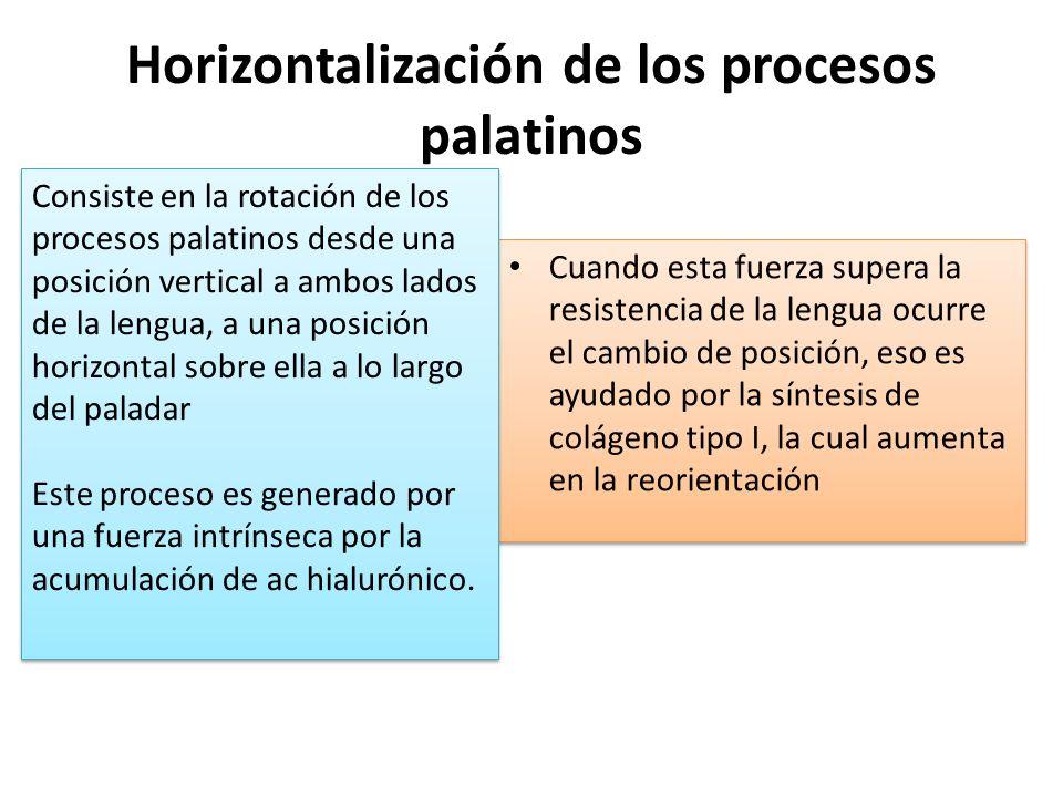 Horizontalización de los procesos palatinos