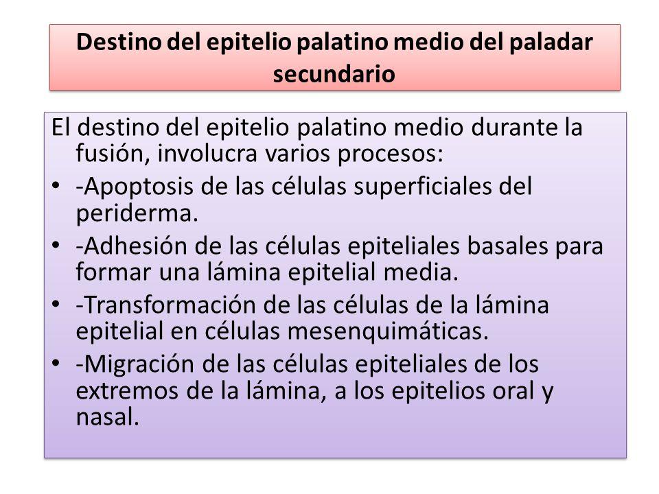 Destino del epitelio palatino medio del paladar secundario