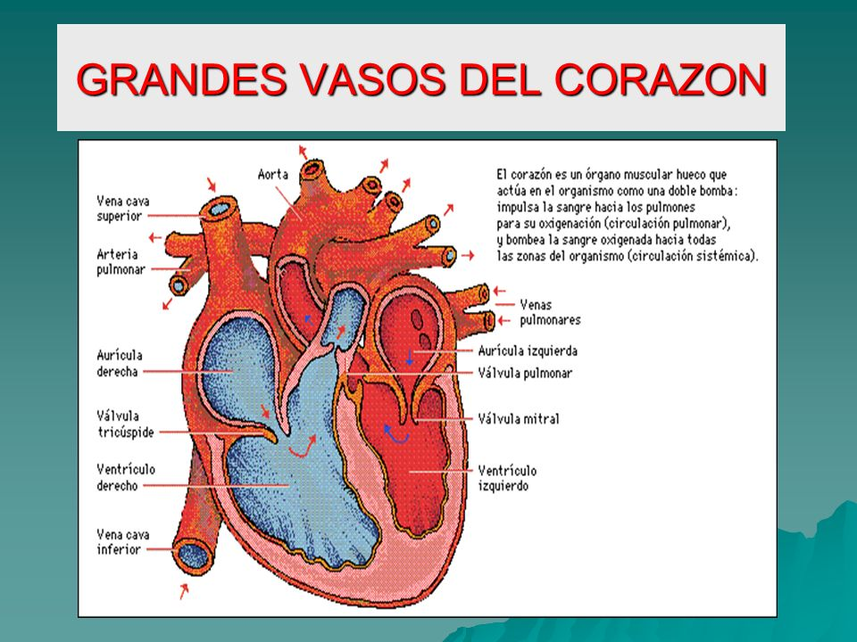 Único Grandes Vasos De La Anatomía Del Corazón Colección - Anatomía ...