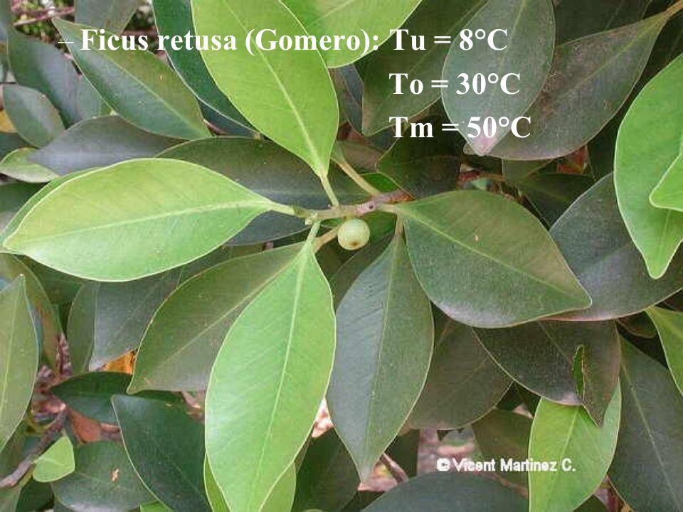 Ficus retusa (Gomero): Tu = 8°C