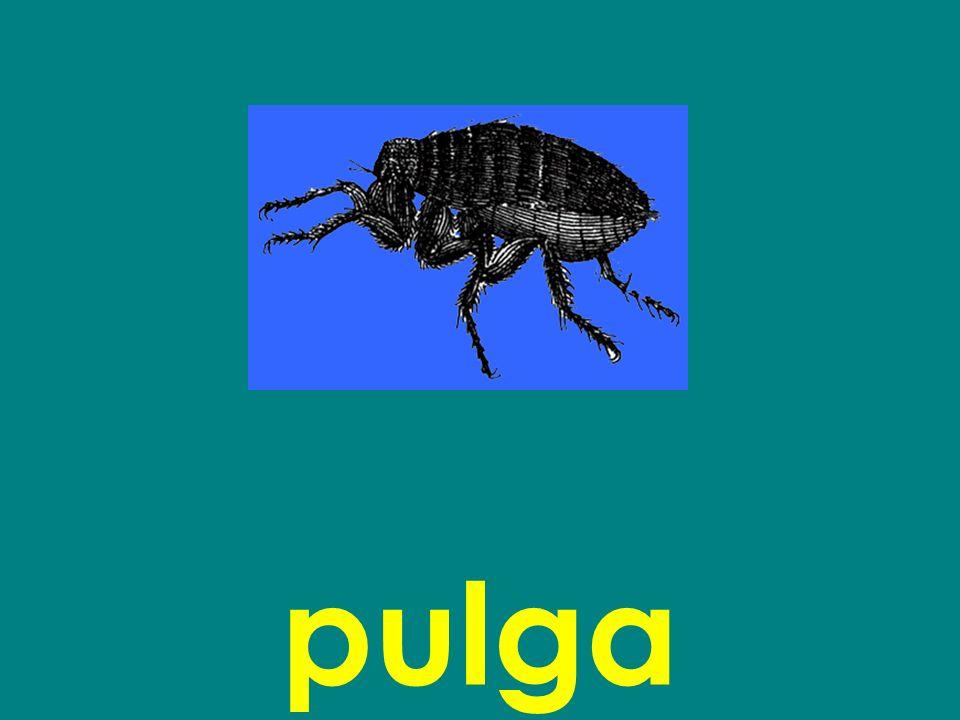 pulga