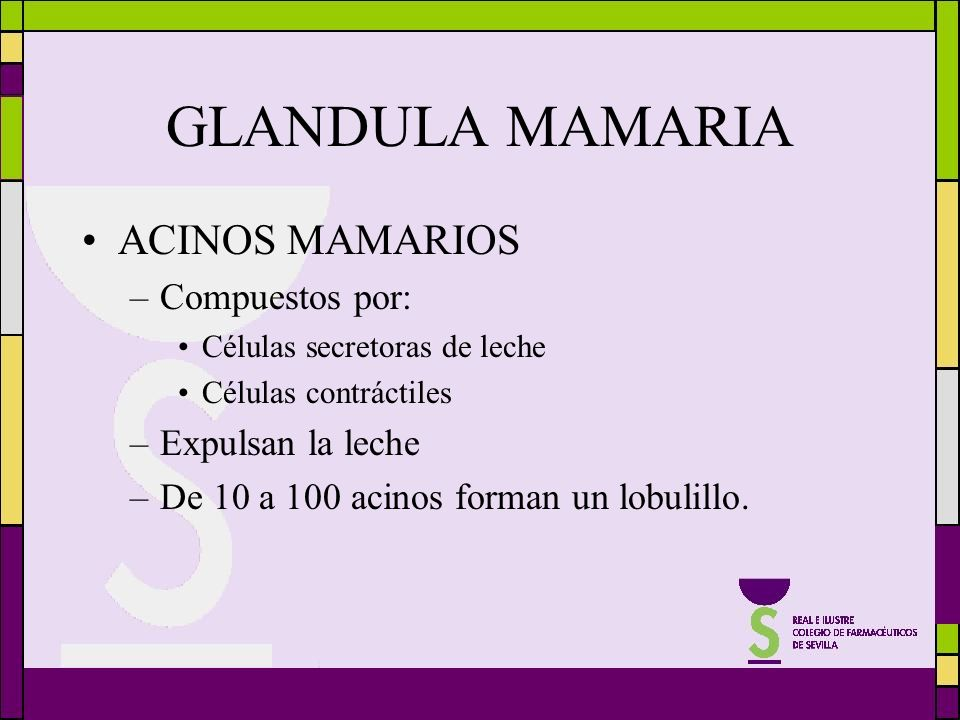 GLANDULA MAMARIA ACINOS MAMARIOS Compuestos por: Expulsan la leche