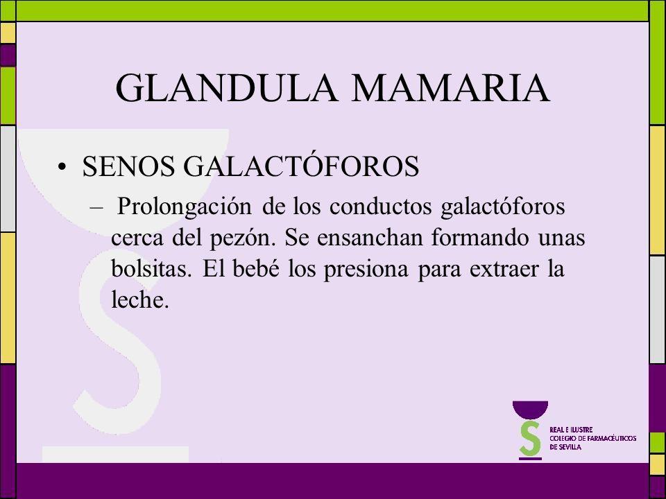 GLANDULA MAMARIA SENOS GALACTÓFOROS