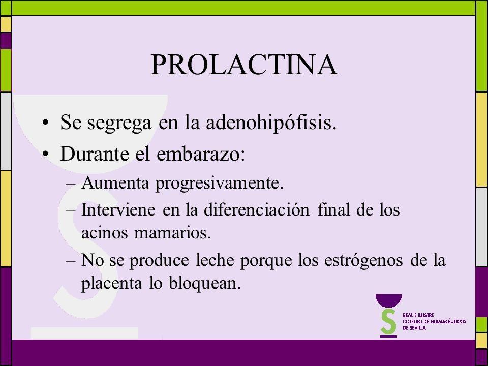PROLACTINA Se segrega en la adenohipófisis. Durante el embarazo: