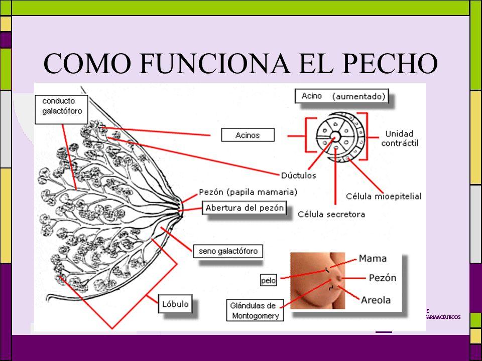 Magnífico Cómo Funciona La Lactancia Materna Anatomía Imágenes ...