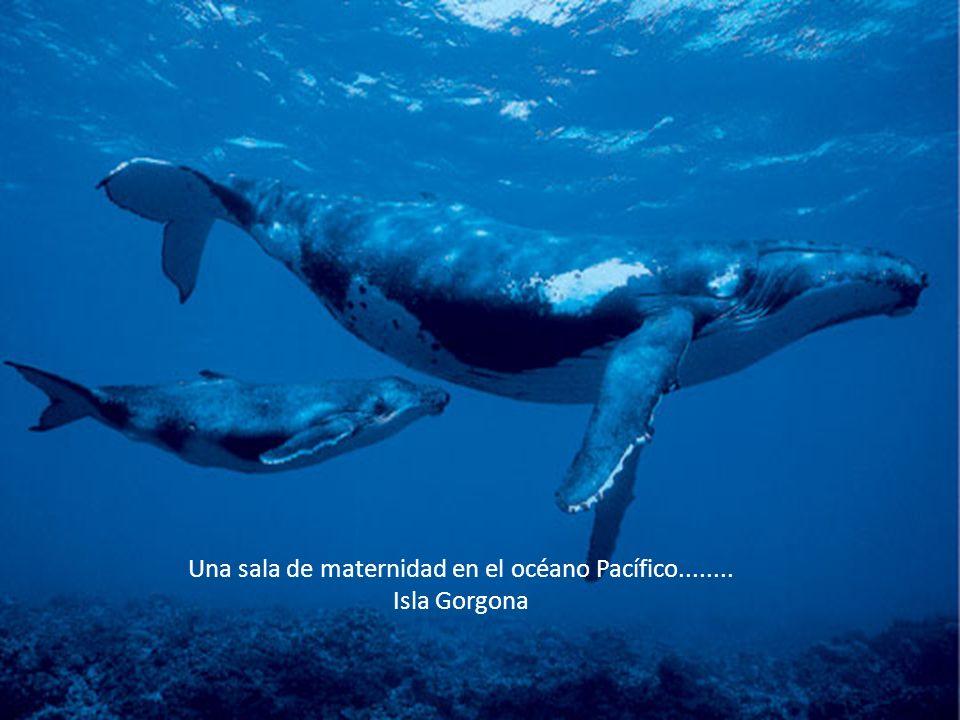 Una sala de maternidad en el océano Pacífico........ Isla Gorgona