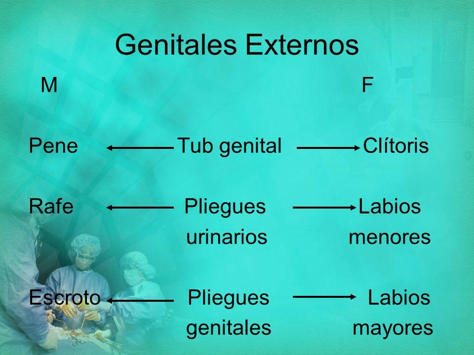 Genitales Externos M F Pene Tub genital Clítoris Rafe Pliegues Labios