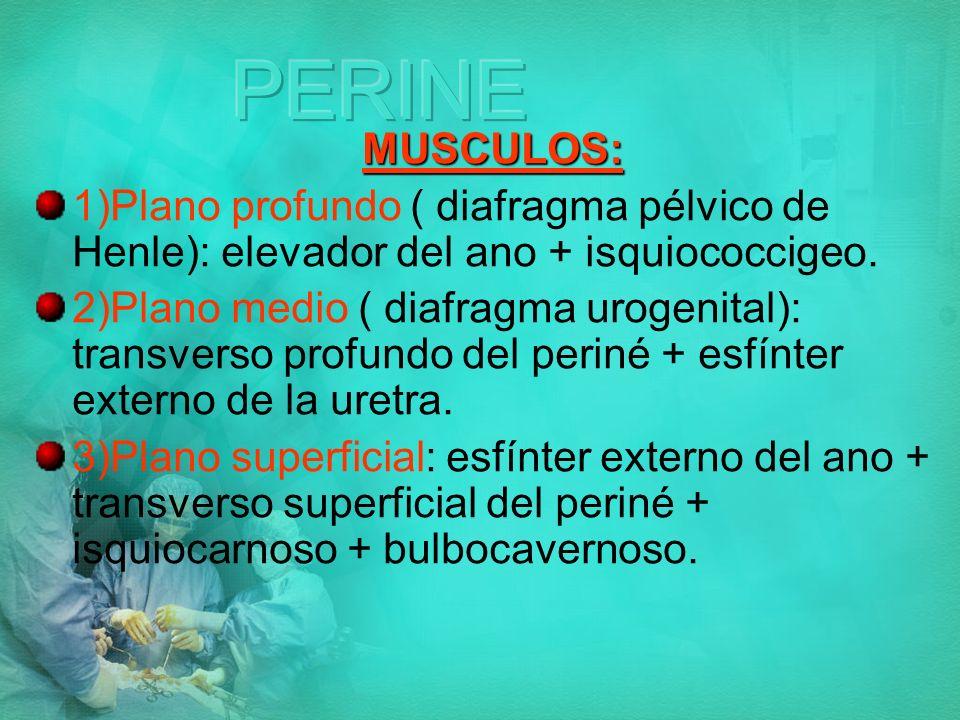 PERINE MUSCULOS: 1)Plano profundo ( diafragma pélvico de Henle): elevador del ano + isquiococcigeo.