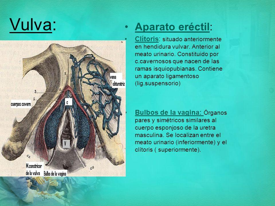 Vulva: Aparato eréctil: