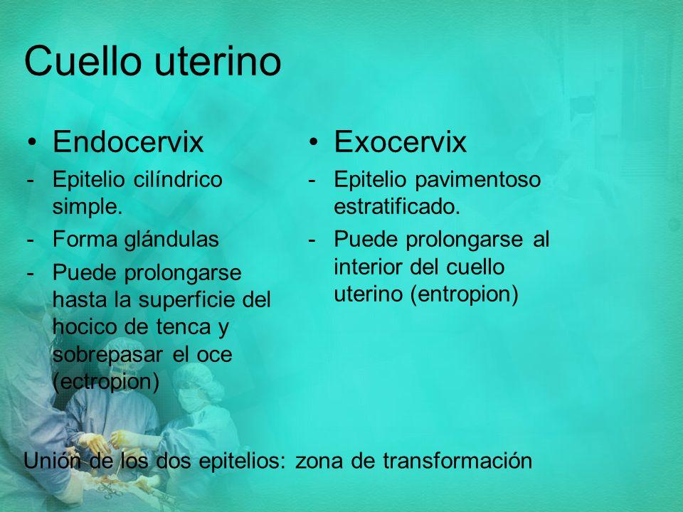 Cuello uterino Endocervix Exocervix Epitelio cilíndrico simple.