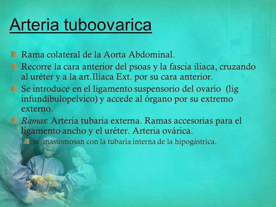Arteria tuboovarica Rama colateral de la Aorta Abdominal.