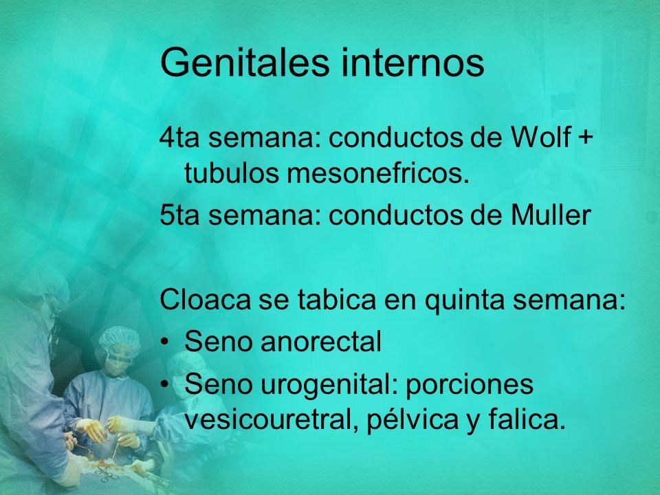 Genitales internos 4ta semana: conductos de Wolf + tubulos mesonefricos. 5ta semana: conductos de Muller.