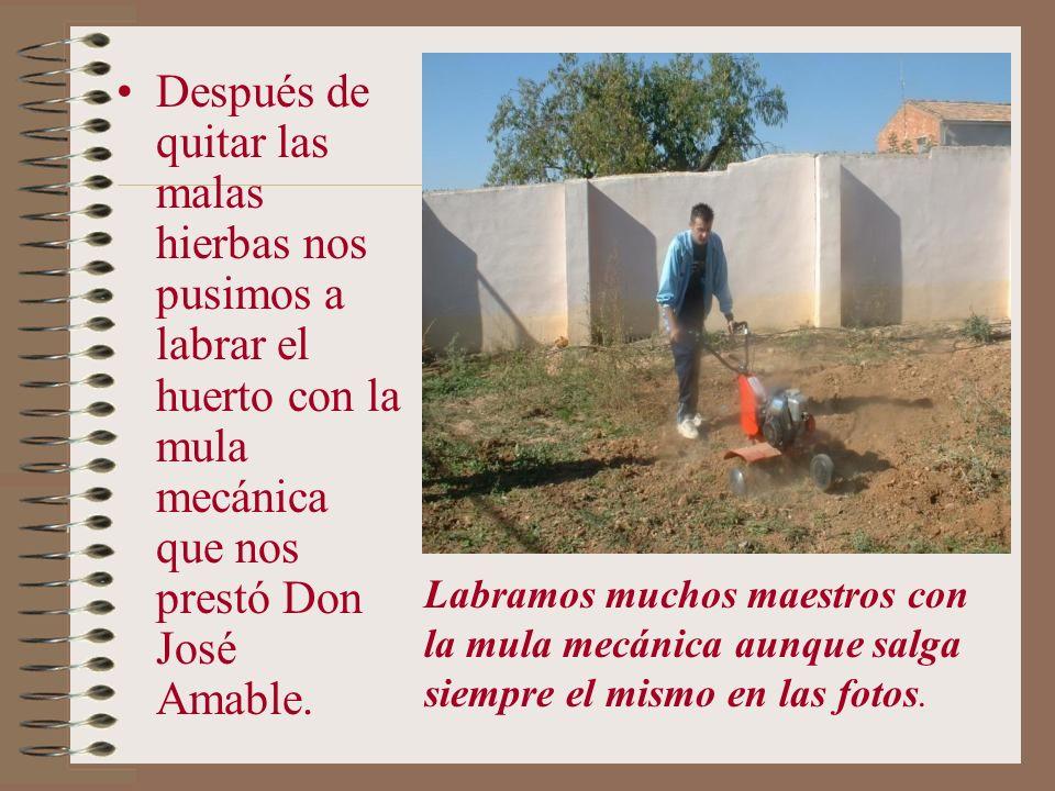 Después de quitar las malas hierbas nos pusimos a labrar el huerto con la mula mecánica que nos prestó Don José Amable.