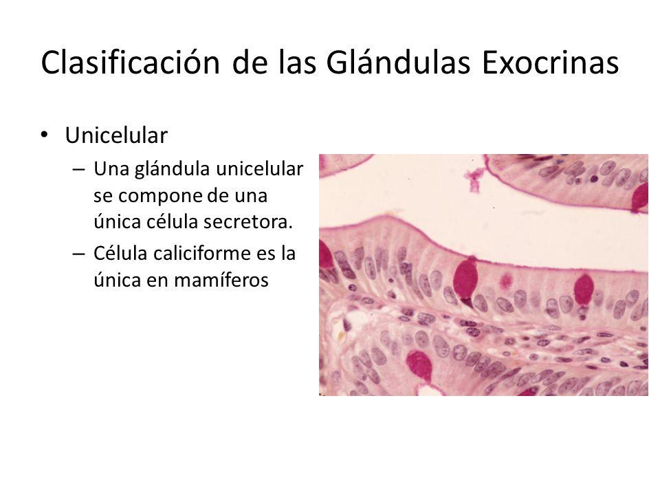 Clasificación de las Glándulas Exocrinas