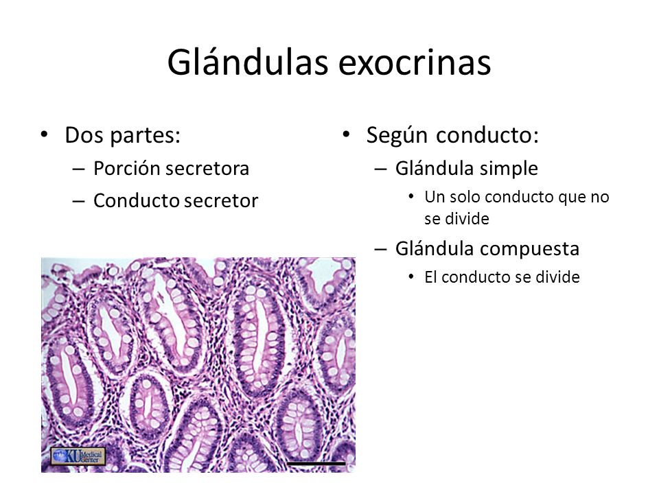 Glándulas exocrinas Dos partes: Según conducto: Porción secretora