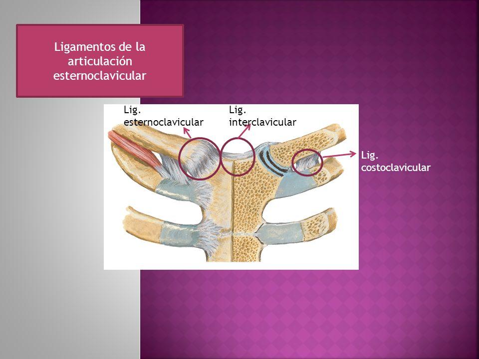 Ligamentos de la articulación esternoclavicular