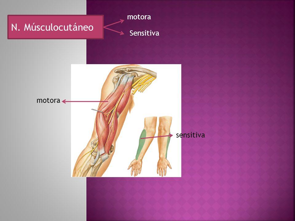motora N. Músculocutáneo Sensitiva motora sensitiva