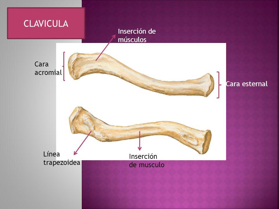 CLAVICULA Inserción de músculos Cara acromial Cara esternal