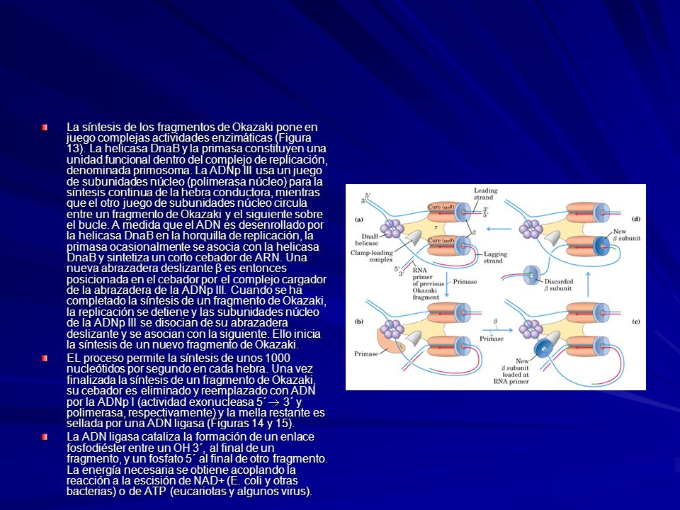 La síntesis de los fragmentos de Okazaki pone en juego complejas actividades enzimáticas (Figura 13). La helicasa DnaB y la primasa constituyen una unidad funcional dentro del complejo de replicación, denominada primosoma. La ADNp III usa un juego de subunidades núcleo (polimerasa núcleo) para la síntesis continua de la hebra conductora, mientras que el otro juego de subunidades núcleo circula entre un fragmento de Okazaki y el siguiente sobre el bucle. A medida que el ADN es desenrollado por la helicasa DnaB en la horquilla de replicación, la primasa ocasionalmente se asocia con la helicasa DnaB y sintetiza un corto cebador de ARN. Una nueva abrazadera deslizante β es entonces posicionada en el cebador por el complejo cargador de la abrazadera de la ADNp III. Cuando se ha completado la síntesis de un fragmento de Okazaki, la replicación se detiene y las subunidades núcleo de la ADNp III se disocian de su abrazadera deslizante y se asocian con la siguiente. Ello inicia la síntesis de un nuevo fragmento de Okazaki.
