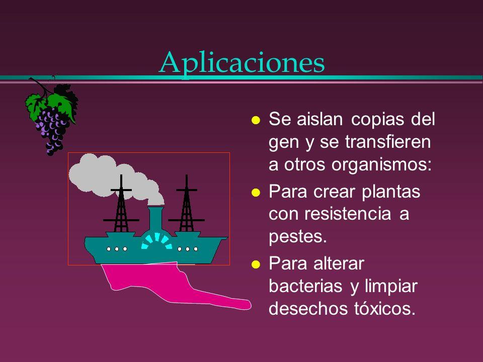 Aplicaciones Se aislan copias del gen y se transfieren a otros organismos: Para crear plantas con resistencia a pestes.