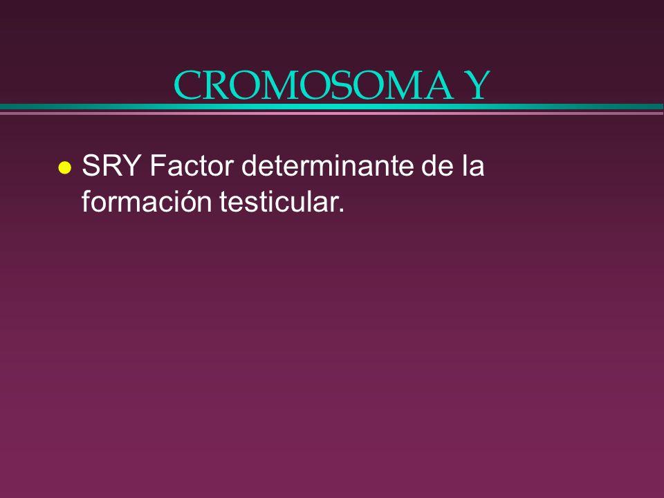 CROMOSOMA Y SRY Factor determinante de la formación testicular.