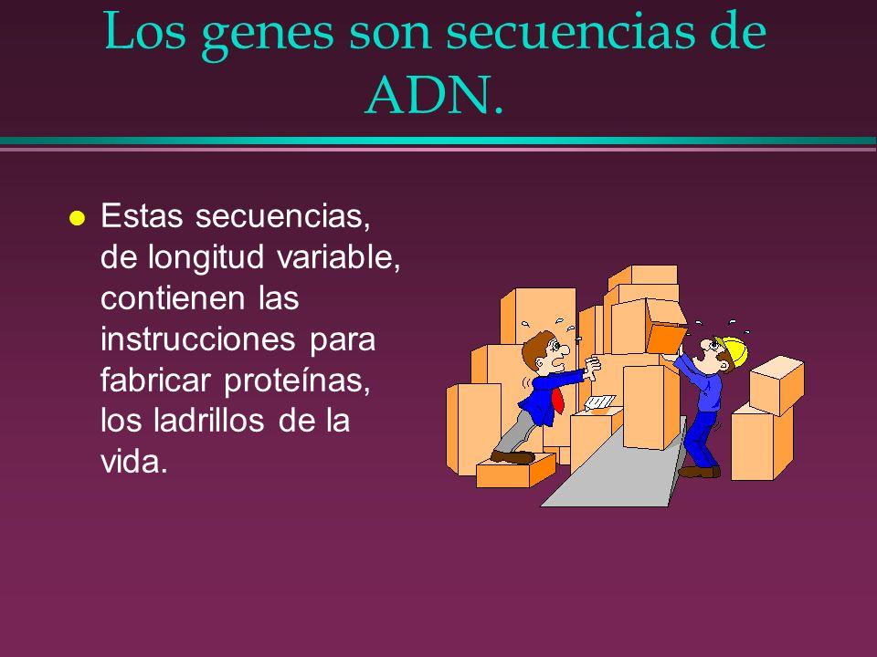 Los genes son secuencias de ADN.