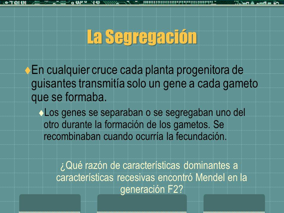 La SegregaciónEn cualquier cruce cada planta progenitora de guisantes transmitía solo un gene a cada gameto que se formaba.