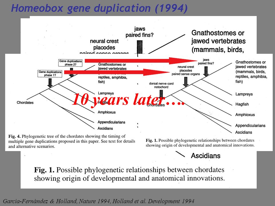 10 years later…. Homeobox gene duplication (1994)