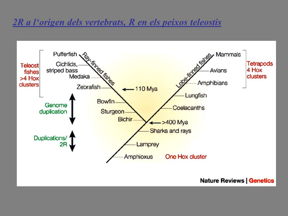2R a l'origen dels vertebrats, R en els peixos teleostis
