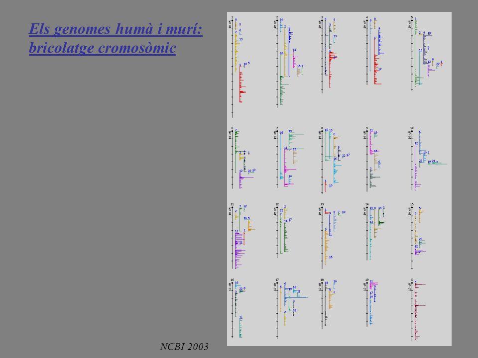 Els genomes humà i murí: bricolatge cromosòmic