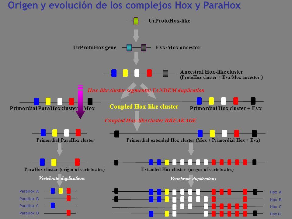 Origen y evolución de los complejos Hox y ParaHox