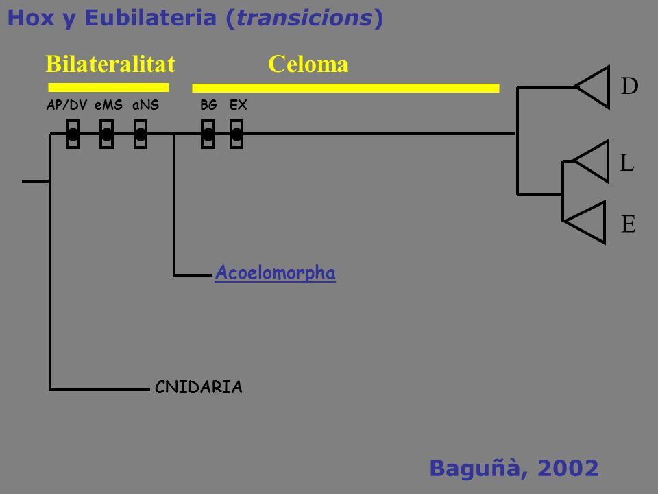 Bilateralitat Celoma D L E Hox y Eubilateria (transicions)