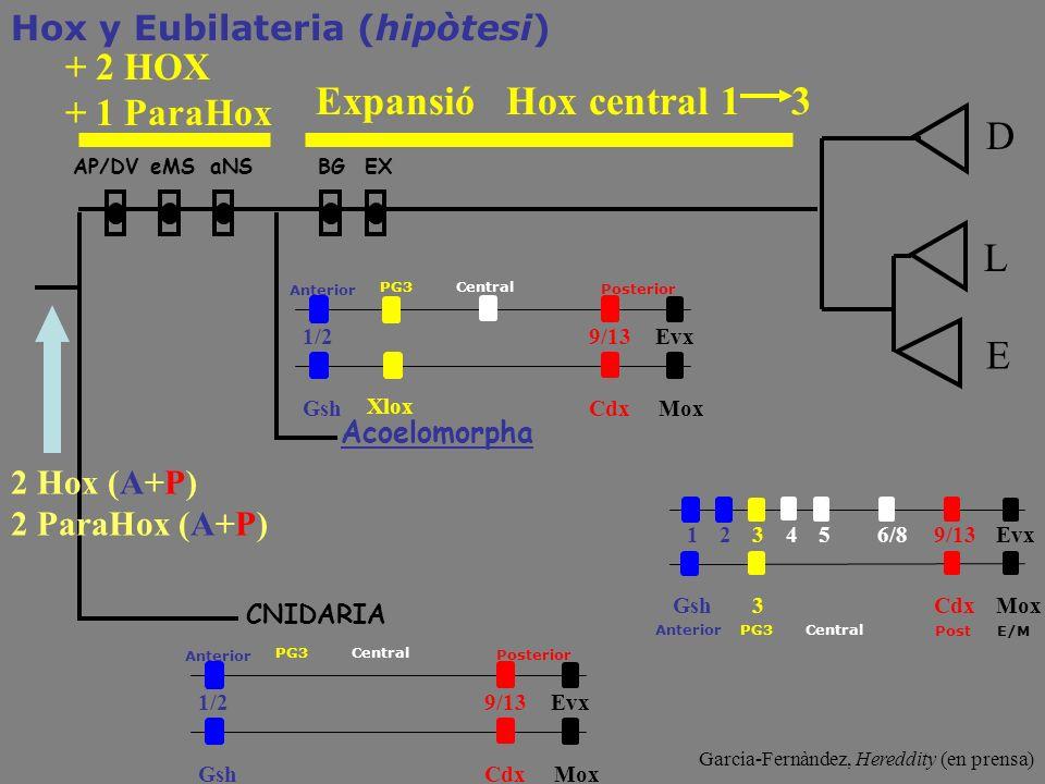 Expansió Hox central 1 3 D L E + 2 HOX + 1 ParaHox