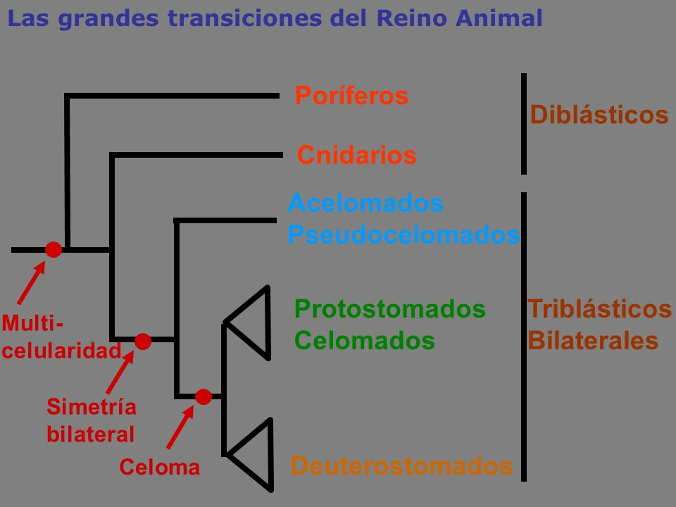 TriblásticosBilaterales