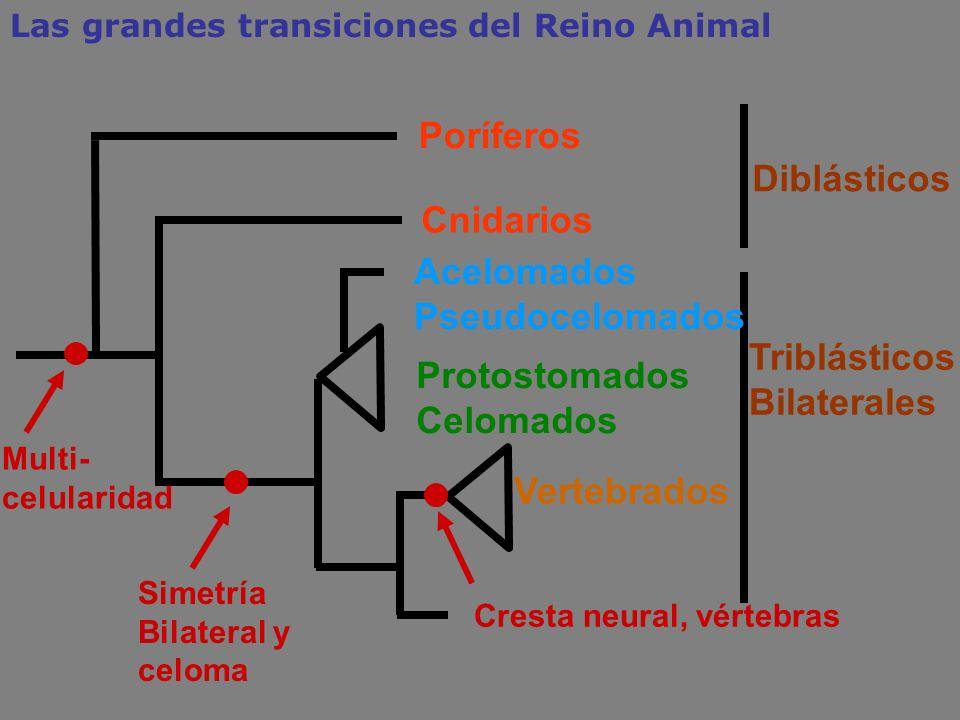 TriblásticosBilaterales Protostomados Celomados