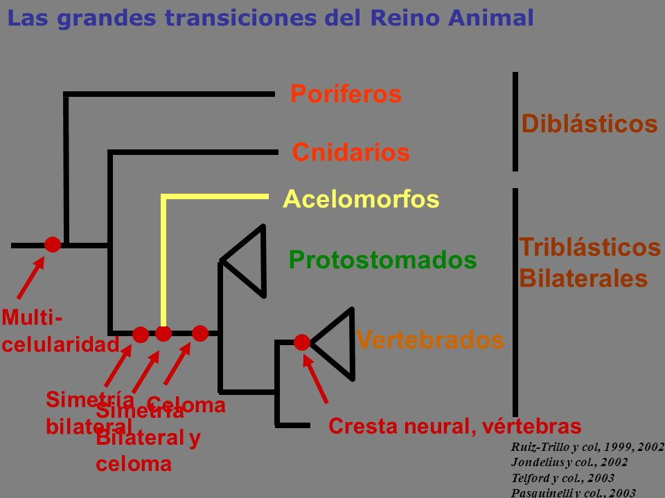 TriblásticosBilaterales Protostomados
