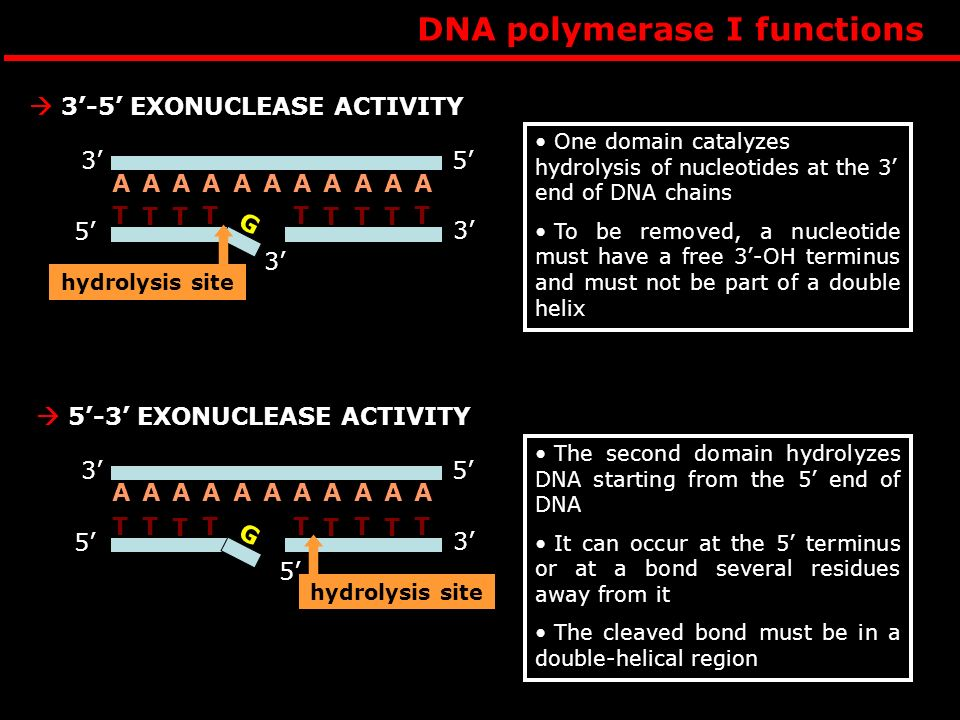 DNA polymerase I functions