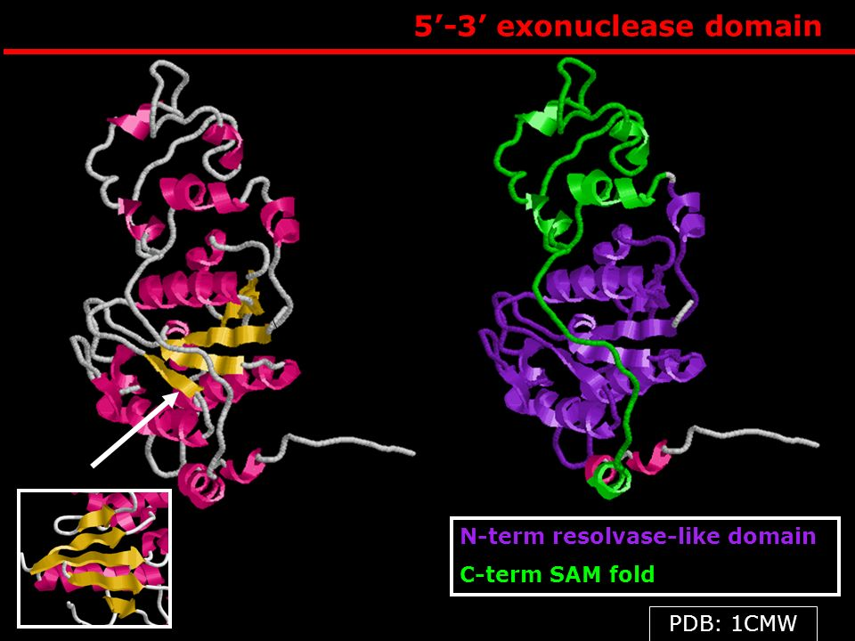 5'-3' exonuclease domain