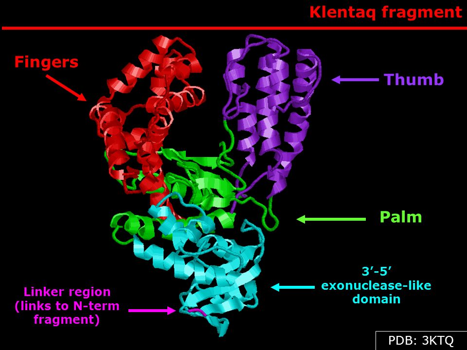 3'-5' exonuclease-like domain Linker region (links to N-term fragment)