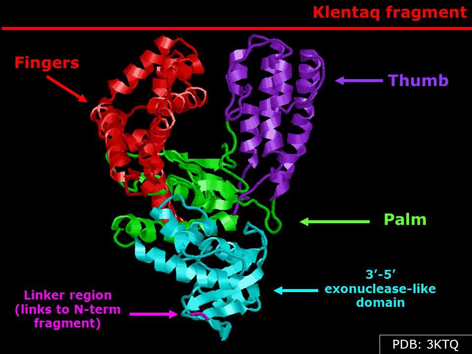 3'-5' exonuclease-like domain Linker region (links to N-term fragment)