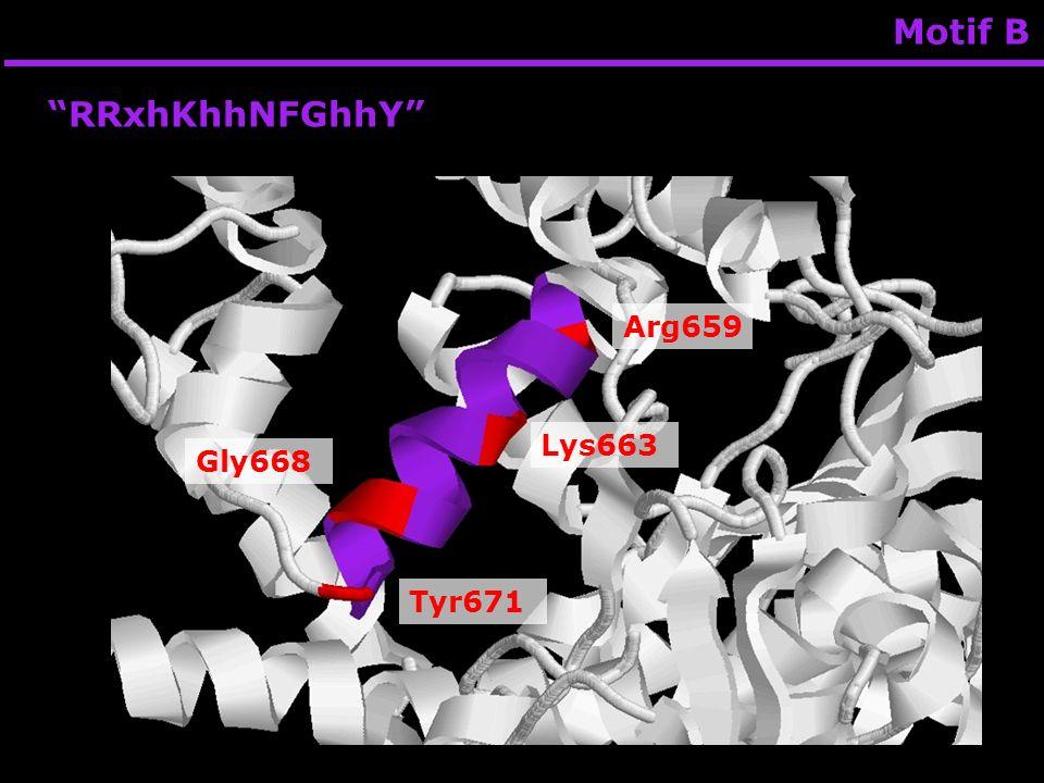 Motif B RRxhKhhNFGhhY Arg659 Lys663 Gly668 Tyr671