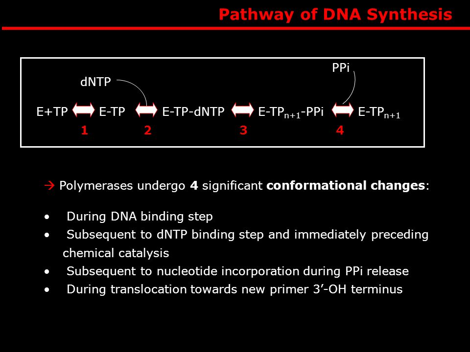 Pathway of DNA Synthesis