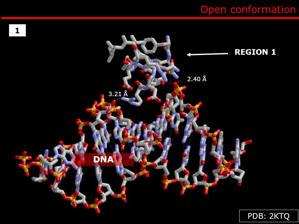 Open conformation DNA 1 REGION 1 PDB: 2KTQ 2.40 Å 3.21 Å