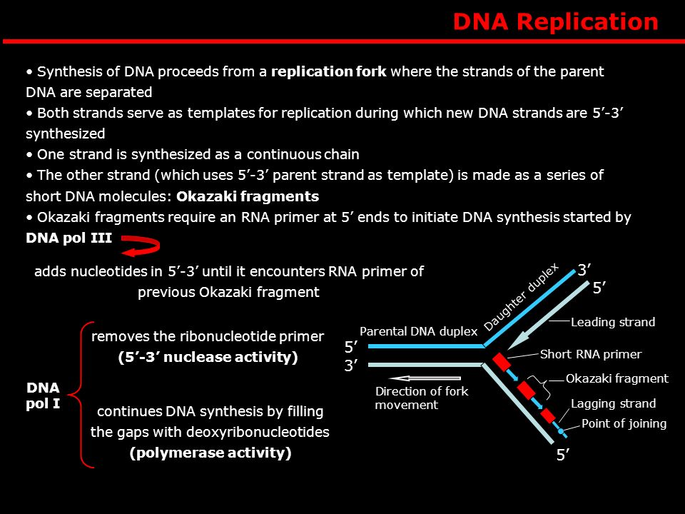 removes the ribonucleotide primer (5'-3' nuclease activity)