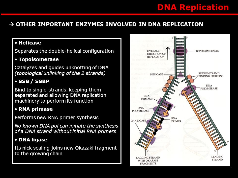 DNA Replication  OTHER IMPORTANT ENZYMES INVOLVED IN DNA REPLICATION