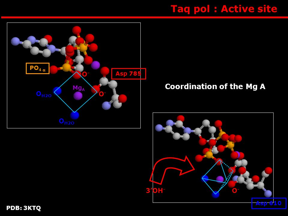 Taq pol : Active site Coordination of the Mg A OH2O O- O- 3'OH- PO4 α