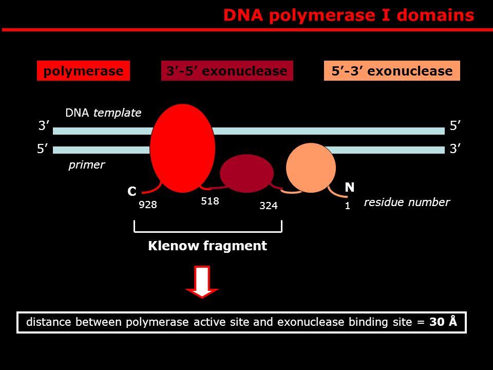 DNA polymerase I domains
